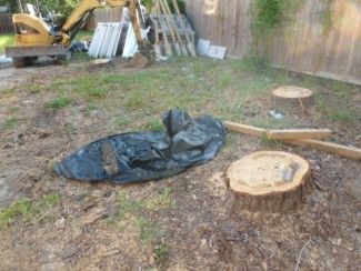 two large pine tree stumps